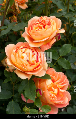 rosa lady of shalott ausnyson orange rose by david. Black Bedroom Furniture Sets. Home Design Ideas