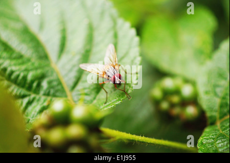 Closeup of Fruit Fly (Drosophila melanogaster), Pune, Maharashtra, India Stock Photo