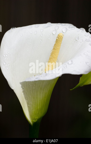 Single rain wet flower of the Calla lily, Zantedeschia aethiopica 'Crowborough' - Stock Photo