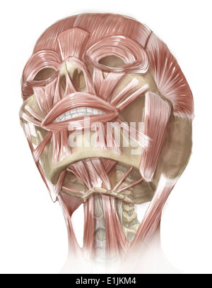 Anterior neck and facial muscles of the human head. - Stock Photo