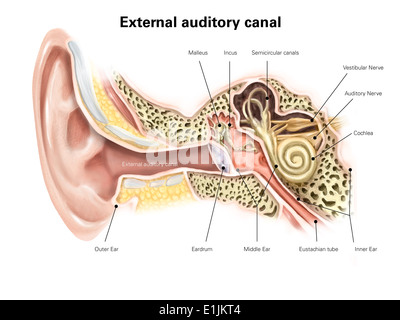 Diagram Showing The Ear Auditory Canal Circuit Wiring And Diagram