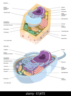 Comparative illustration of plant and animal cell anatomy Stock ...