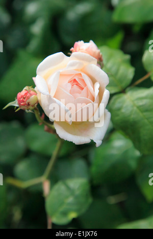 UK, England, London, Regent's Park, rose, - Stock Photo