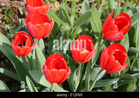 Red tulips flowers in spring season - Stock Photo