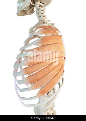 Human serratus anterior muscles computer artwork. - Stock Photo