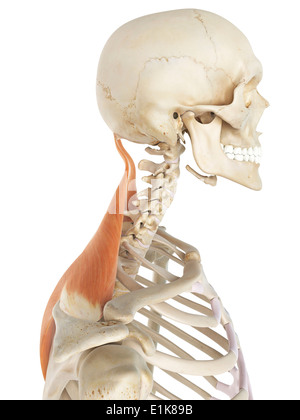 human trapezius muscles computer artwork stock photo, royalty free, Muscles