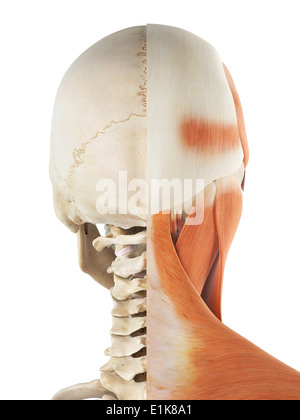 Human muscles in the head and neck cut away computer artwork. - Stock Photo