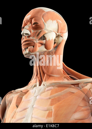 Human head and neck muscles computer artwork. - Stock Photo