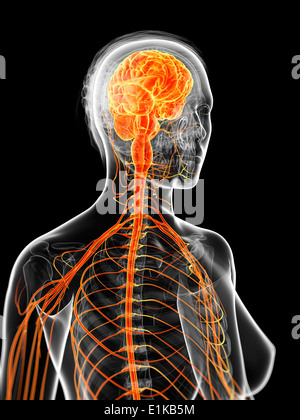 Female nervous system computer artwork. - Stock Photo