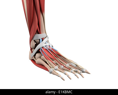 Human foot anatomy computer artwork. - Stock Photo