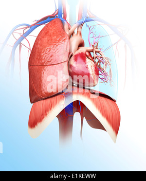 Human heart and lungs computer artwork. - Stock Photo