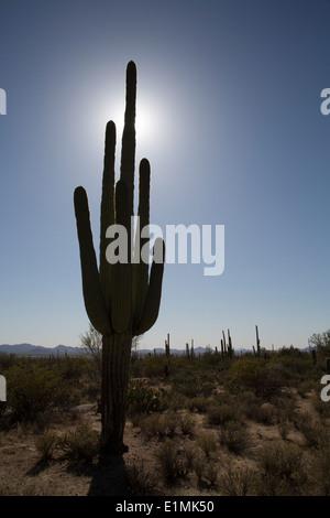 USA, Arizona, Saguaro National Park, West-Tucson Mountain District, Saguaro Cactus (Camegiea Gigantea), can grow - Stock Photo