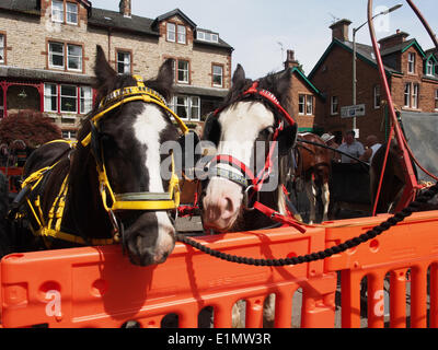 Appleby-in-Westmorland, Cumbria, England - June 06, 2014: Horses tethered in the street during the Appleby Horse - Stock Photo