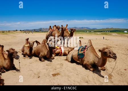 Mongolia, Ovorkhangai province, camel for tourist at Batkhan national parc - Stock Photo