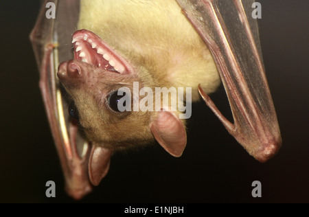 Fruit Bat open mouth - Stock Photo