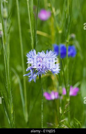 Centaurea cyanus. Cornflowers in a wildflower garden. - Stock Photo