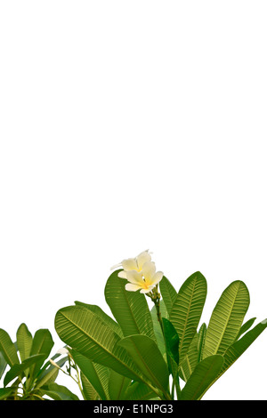 white and yellow plumeria flowers on white background - Stock Photo