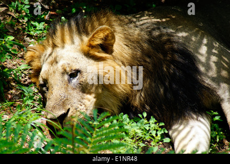 Lion laying down Panthera leo persica or Asiatic lion Indian Lion head closeup view - Stock Photo