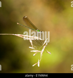 The Syrian Demoiselle (Calopteryx syriaca) is a species of damselfly - Stock Photo