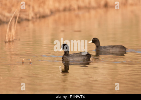 Eurasian Coot (Fulica atra) couple Photographed in Israel in February - Stock Photo