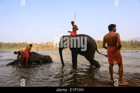 Mahoots (trainers) bathe and train young elephants at dawn in the river Periyar on January 11, 2012 near Fort Kochi, - Stock Photo