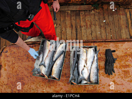 US Coast Guard crew inventories salmon aboard the Chinese fishing vessel Yin Yuan boarded and detained for illegal - Stock Photo