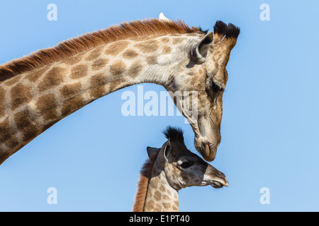 Giraffe with calf closeup affections in winter blue sky in wildlife animal park reserve. - Stock Photo
