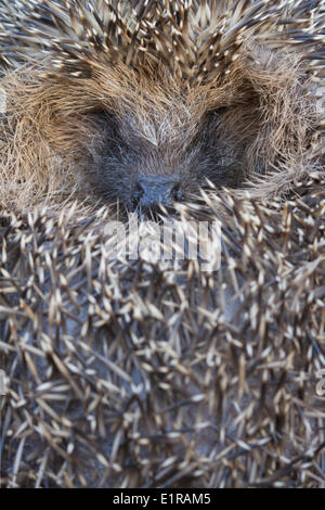 sleeping, curled up hedgehog - Stock Photo