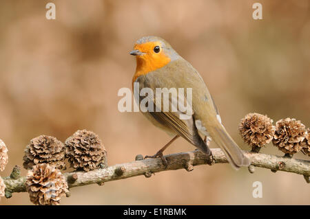 European Robin perched on branch of Larch with cones - Stock Photo