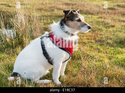 Working Parson Jack Russell Terrier wearing red harness and bell - Stock Photo
