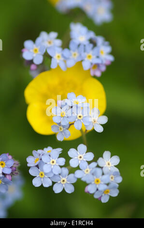 Alpine Forget-me-not with a buttercup in the background - Stock Photo