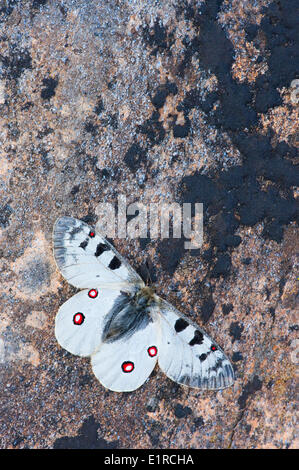 Small Apollo butterfly close-up - Stock Photo