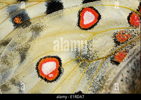 Detail of the red spots on the underwing of an Apollo - Stock Photo