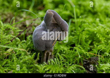 Helvella lacunosa, also known as the slate grey saddle or fluted black elfin saddle - Stock Photo