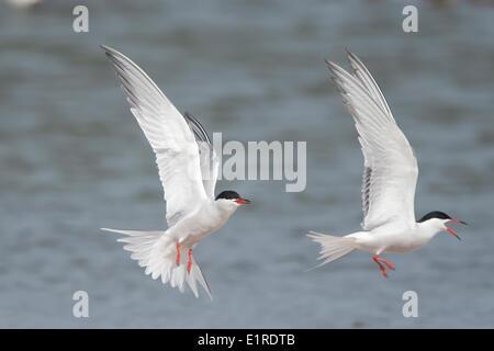 common terns fighting in flight - Stock Photo