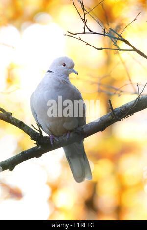 Collared Turtle Dove in birch in autumn - Stock Photo
