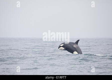 Breaching Orca - Stock Photo