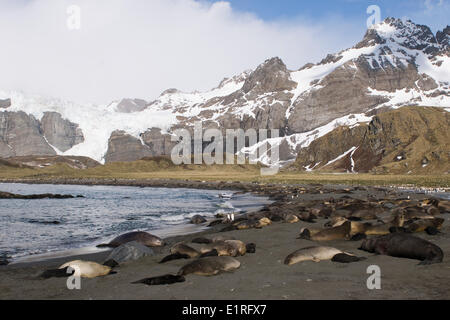 Southern Elephant seals on the beach of Gold Harbour in South Georgia - Stock Photo