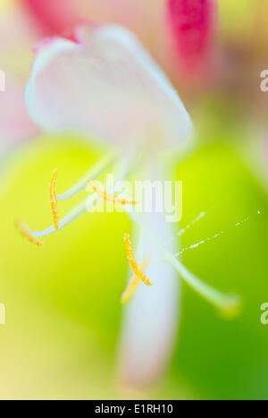 Close-up of Common honeysuckle flower; - Stock Photo