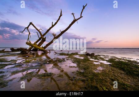 dead tree on shoreline in the dutch delta; - Stock Photo
