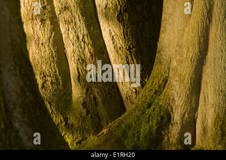 Trunks of three large old beech trees in morgning light fill the image - Stock Photo