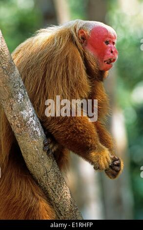 Red Uakari in the trees of the Amazon rainforest - Stock Photo