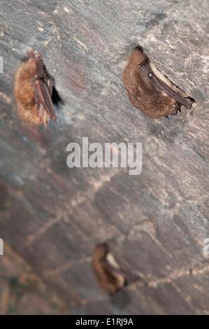 Two hibernating daubenton's bats and a common long-eared bat in a cellar - Stock Photo