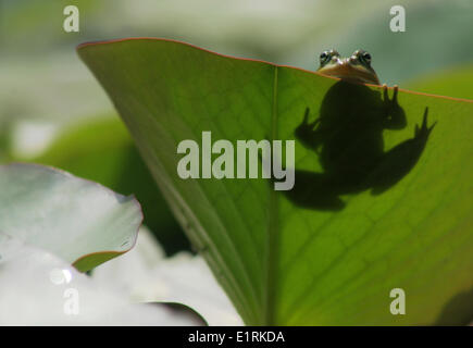 Green frog between water lilies in a fen with shadow - Stock Photo
