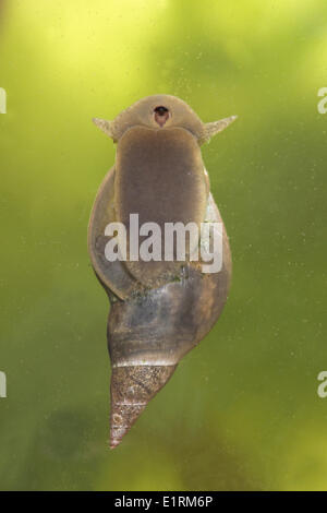 great pond snail photographed from bellow - Stock Photo