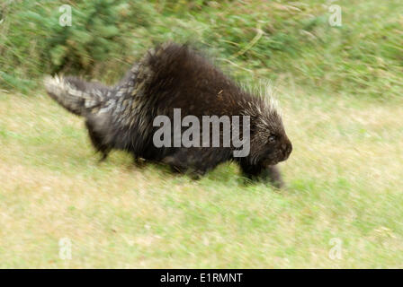 A Porcupine walking in the grass - Stock Photo