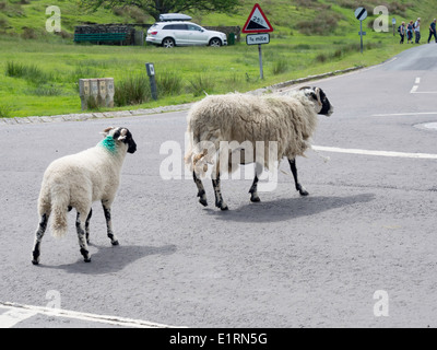 Sheep on unfenced road Stock Photo: 19160943 - Alamy