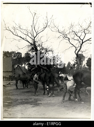 British Cavalry horse line and bivouac [Aire, France]. . - Stock Photo