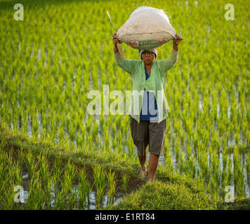 Woman carrying rice in a rice field, Ubud region, Bali, Indonesia - Stock Photo