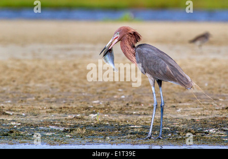 Reddish egret (Egretta rufescens) eating a morning catch – a flounder, Galveston, Texas, USA. - Stock Photo